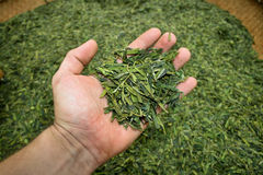 New Tea Harvest Royalty Free Stock Image