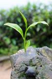 A new tea leaf grow. A single tea leaf grow at the branch of ol tea trees Royalty Free Stock Photo