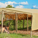 New tobacco crop dry under a canopy Stock Photography