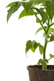New tomato plant in biodegradable peatpot Stock Images
