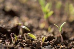 New Tomato Plants In A Soil Stock Photo
