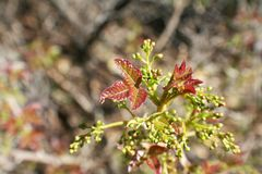 New Toxic Poison Oak Leafs Sprouting High Quality stock photos