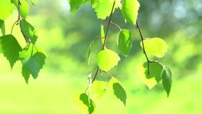 New tree leaves budding in the spring. 4K stock footage