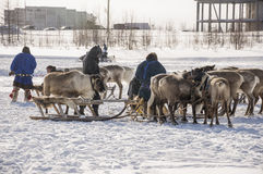 New Urengoy, YaNAO, North of Russia. March 1, 2016. The holiday of north nationality. Nenets man and north deer in winter day Stock Photo