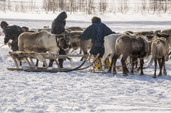 New Urengoy, YaNAO, North of Russia. March 1, 2016. The holiday of north nationality. Nenets man and north deer in winter day Royalty Free Stock Image