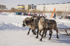 New Urengoy, YaNAO, North of Russia. March 1, 2016. The holiday of north nationality. Nenets man and north deer in winter day Stock Image