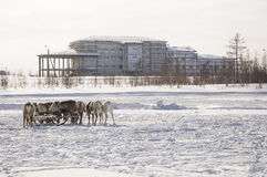 New Urengoy, YaNAO, North of Russia. March 1, 2016. The holiday of north nationality. Nenets man and north deer in winter day Royalty Free Stock Photography