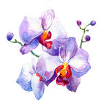 The new view of orchid watercolor hand drawn for postcard. Isolated on the white background Royalty Free Stock Image