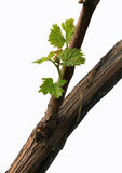 New vine royalty free stock photos