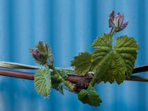 New Vine Growth Stock Photography