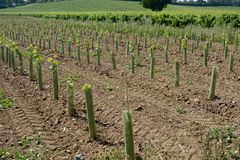 New vines in English vineyard Royalty Free Stock Image
