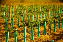 New vineyard Stock Photography
