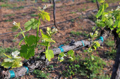 New Vineyard Growth Stock Image