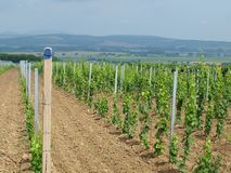 New vineyard landscape in the background. South Moravia stock images