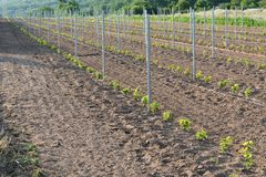 New vineyard with young plants of grapevine. In a field stock photography