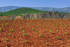 New vineyards, north of Hvar island Royalty Free Stock Photos