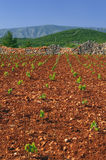 New vineyards, north of Hvar island Royalty Free Stock Image