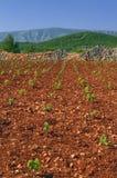 New vineyards, north of Hvar island Royalty Free Stock Image