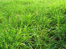 new wheat Стоковая Фотография RF