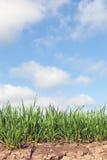 new wheat 图库摄影