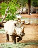 New White Rhino at Phoenix Zoo Royalty Free Stock Photos