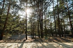 New wooden road leading from the beach of Baltic Sea gulf with white sand to the dune forest with pine trees stock photo