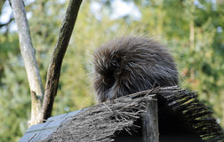 New World Porcupine. Or ethizontidae, sleeping in the forest Royalty Free Stock Photo