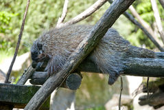 New World Porcupine. Sleeping on the tree stock image