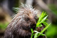 New World Porcupine Eating Stock Photos