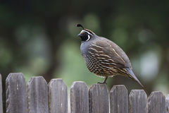 New world quail Stock Photo