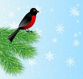 New-year background with spruce branch and bird bullfinch Stock Photo