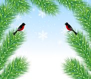 New-year background with spruce branch and bullfinch Stock Photo