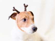 New Year costume of reindeer. Portrait of cute Jack Russell Terrier Stock Photography