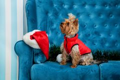 Photo session couch tiffany blue turquoise color dog pet new year christmas red terrier sofa toy Stock Image