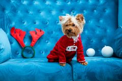 Photo session couch tiffany blue turquoise color dog pet new year christmas red terrier sofa toy Royalty Free Stock Photo