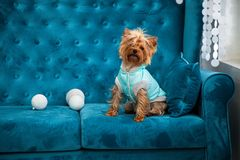 Photo session couch tiffany blue turquoise color dog pet new year christmas red terrier sofa toy Royalty Free Stock Photos