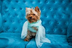 Photo session couch tiffany blue turquoise color dog pet new year christmas red terrier sofa toy Stock Images