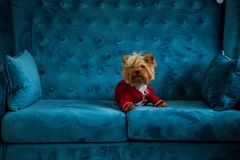 Photo session couch tiffany blue turquoise color dog pet new year christmas red terrier sofa toy Stock Photography
