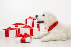 New Year Dog, White Retriever Puppy and Christmas Present Gift. Boxes, Holiday Animal Pet with Red Ribbon stock photo