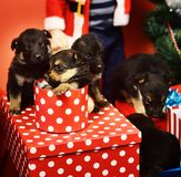 New year gift concept. Puppies in gift boxes. stock photo