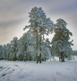 New year landscape in snowy woods Royalty Free Stock Image