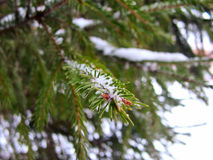 New Year`s fir tree branch with fallen snow Royalty Free Stock Photos