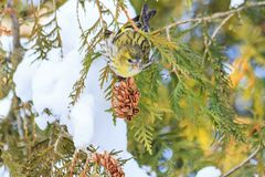 New Year`s picture of a bird on a fir tree in the midst of snow-covered branches Stock Photo