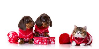 Puppy dachshund and Christmas kitten stock photo