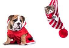 New Year`s puppy English bulldog and Christmas kitten royalty free stock photography