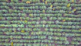 New Year`s trees planted for felling for the holiday. New Year`s Plantation. Aerial view.