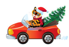 New year tiger in red car. With fir-tree Stock Photos