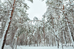 New Year tree in winter forest. Beautiful winter landscape with snow covered trees. Trees covered with hoarfrost and snow. Beautif Stock Photo