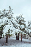 New Year tree in winter forest. Beautiful winter landscape with snow covered trees. Trees covered with hoarfrost and snow. Beautif Stock Photos