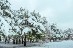 New Year tree in winter forest. Beautiful winter landscape with snow covered trees. Trees covered with hoarfrost and snow. Beautif Stock Image